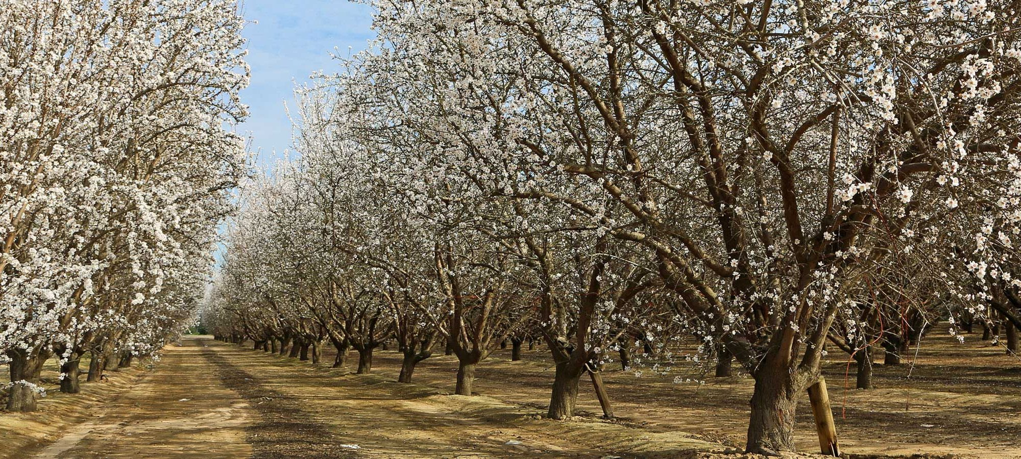 März / April: Fest der Mandelbäume und des Weines in Hustopece
