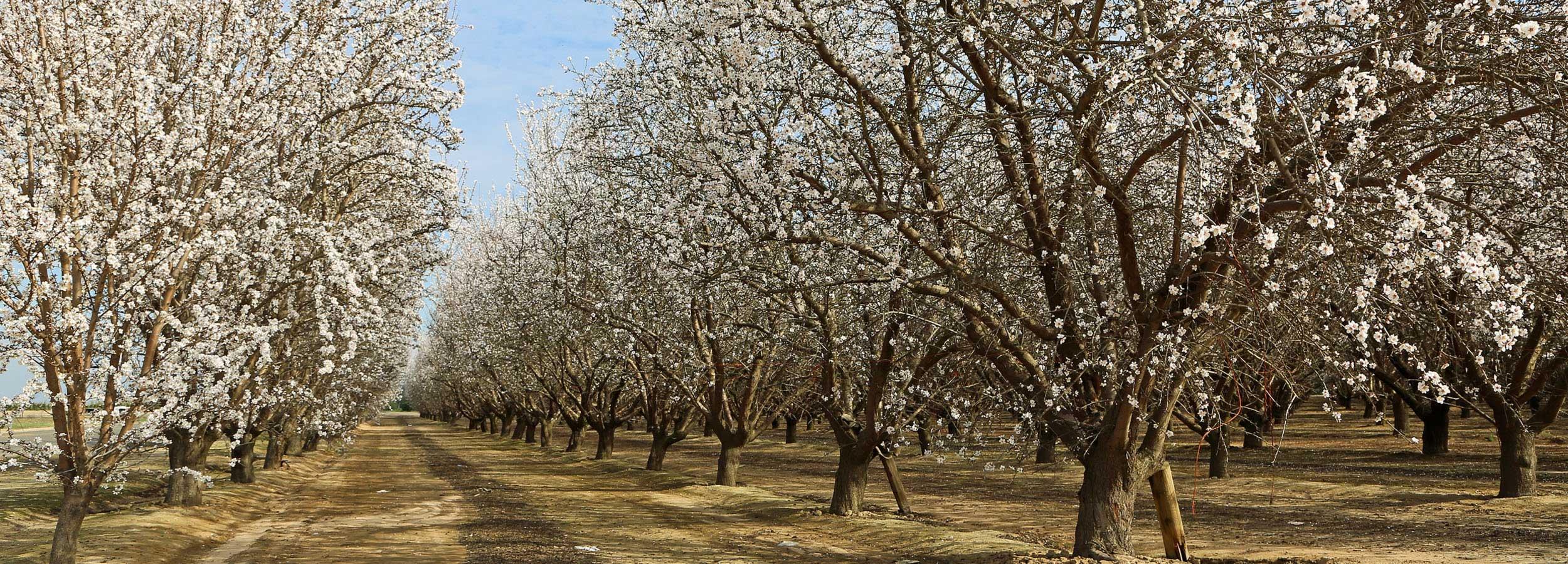 Březen / Duben: Slavnosti mandloní a vína Hustopeče
