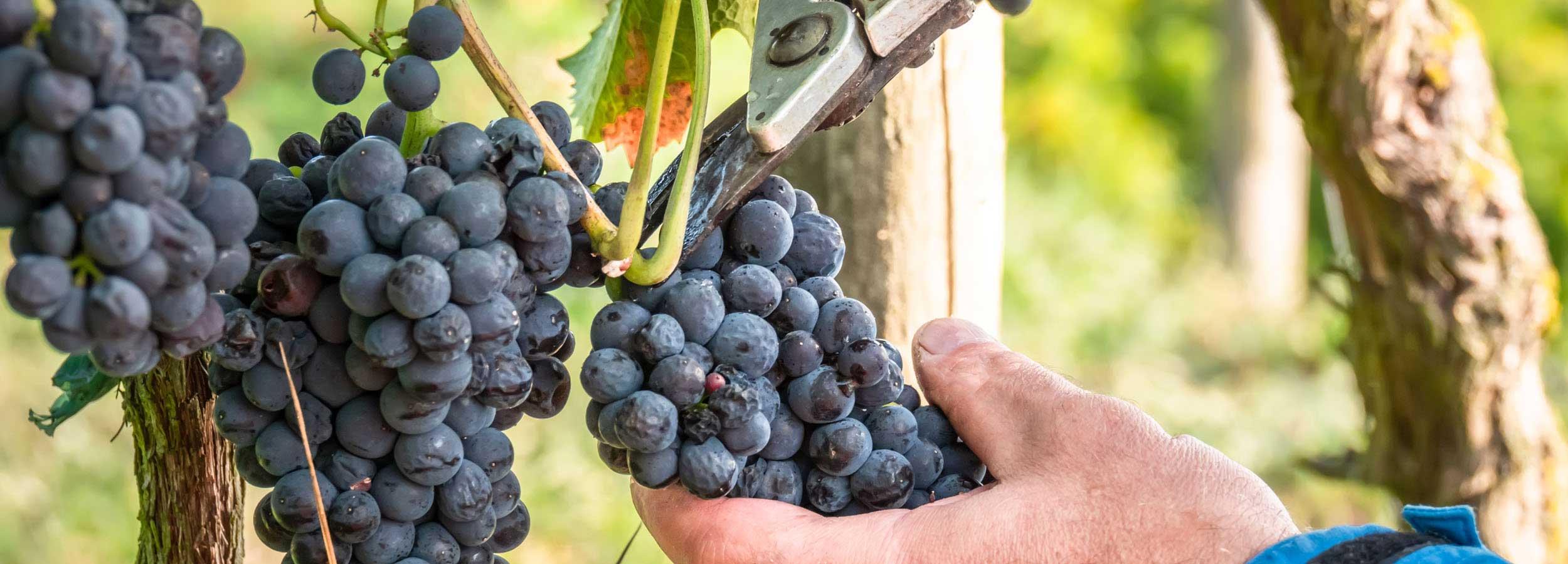 Září: Hlohovecké vinobraní
