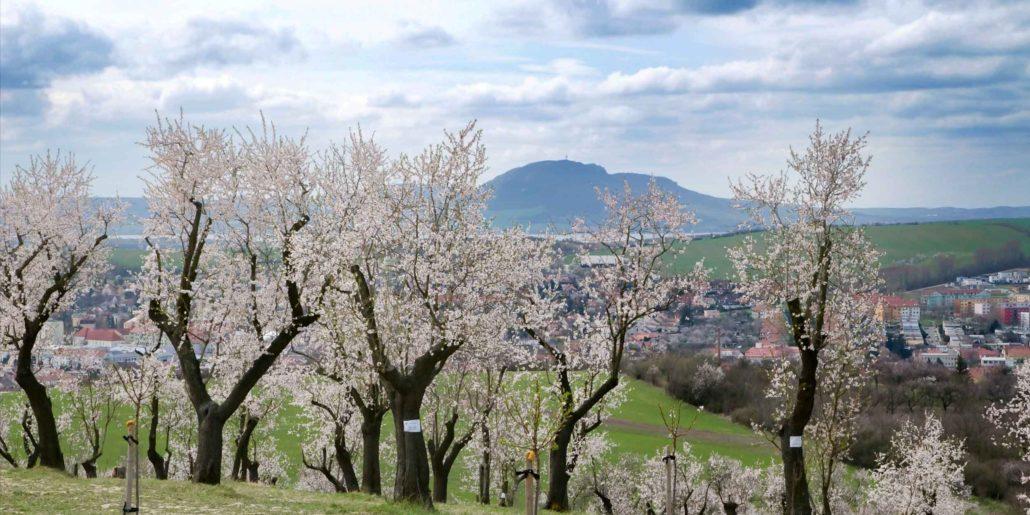 Almond orchard Hustopeče